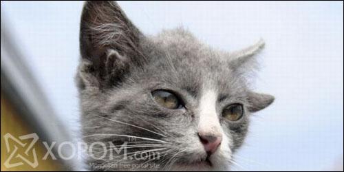 Дөрвөн чихтэй Лунтик муур Владивостокт амьдардаг [6 фото]