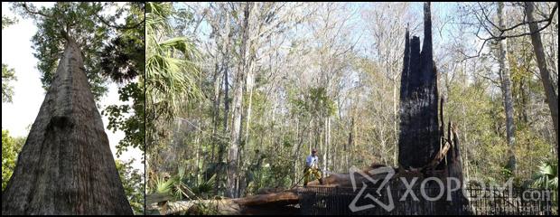 Манай гаригийн хамгийн хөгшин моддын нэг сүйдэж үгүй болжээ [19 зураг]